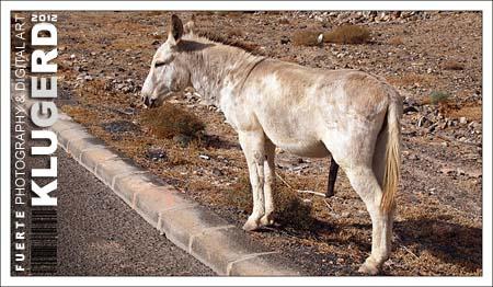 Fuerteventura - Tag 5 - Und täglich grüßt... der Esel