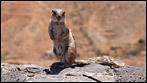 Habe gerade Lust - Tierfoto - Das gemeine Atlashörnchen