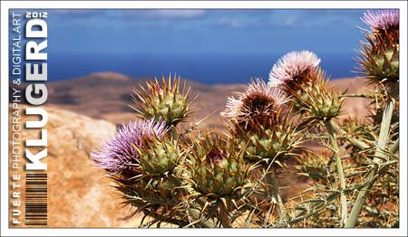 Fuerteventura - Tag 13 - Mariendistel auf Fuerteventura