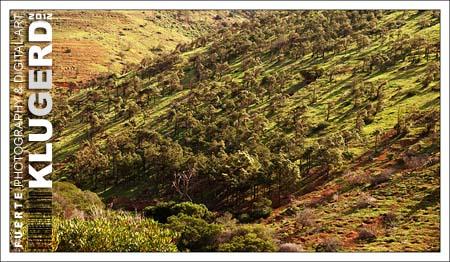 Kanarische Kiefern auf Fuerteventura