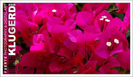Habe gerade Lust - Blumen - Bougainvillea