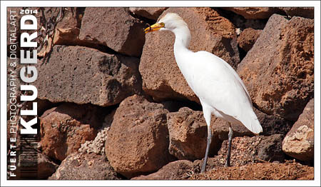 Fuerteventura | Der frühe Vogel fängt den Wurm