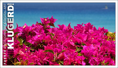 Fuerteventura - Fotos der Woche - Bougainvillea :: Morro Jable