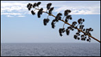 Fuerteventura - Fotos der Woche | Agave :: Morro Jable