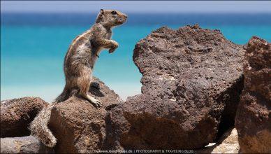 Atlashörnchen