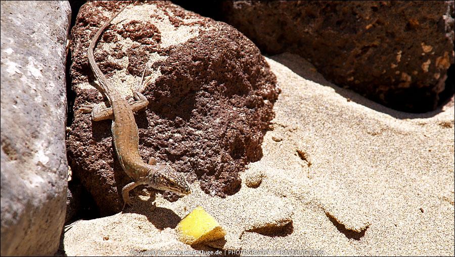 Fuerteventura :: Tag 11 | Ostkanareneidechse, frech wie Oskar