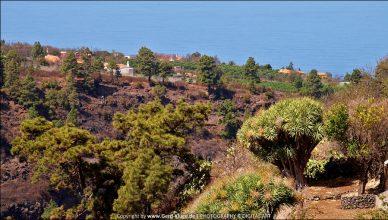La Palma :: Tag 10 | Drachenbaumhaine von Las Tricias