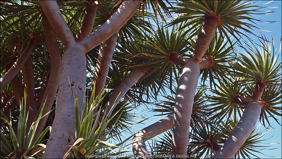 La Palma :: Tag 10   Drachenbaumhaine von Las Tricias