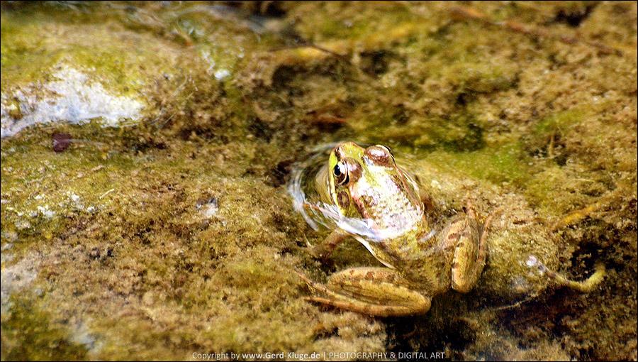 La Palma :: Tag 15 | Barranco de las Angustias - Frosch im Bachbett des Barranco de las Angustias