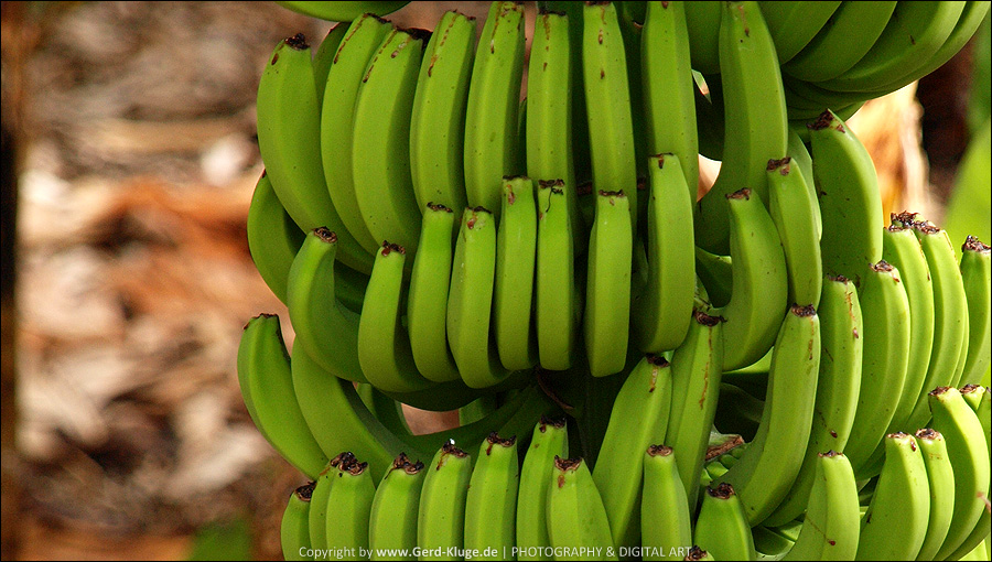 La Palma :: Tag 24 | Bananen mit abgeschnittenen Blütenansatz