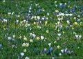 Frühlingsboten | Kaisergarten - Oberhausen