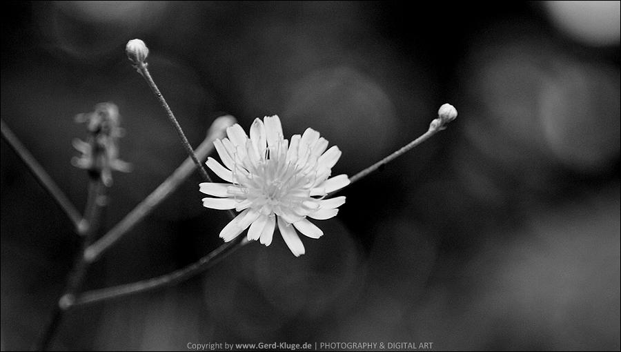 Black & White - Juni 2020 | Sommerblümchen am Wegesrand