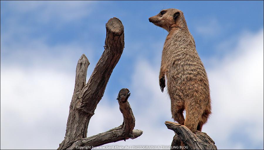 Die Erdmännchen vom Oasis Park